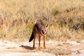 Black-backed jackal-4