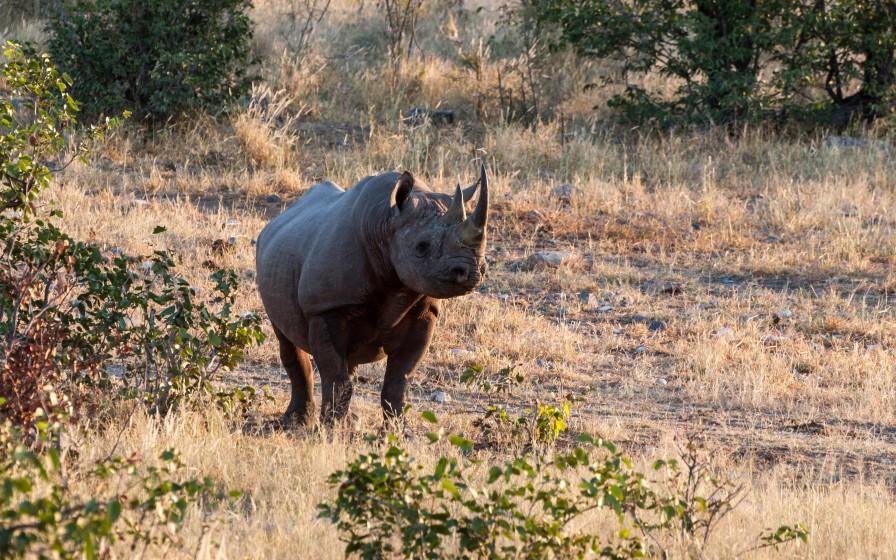 Black rhino heading to the waterhole
