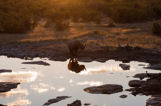 Black rhino, waterhole