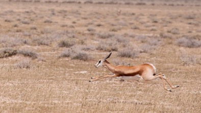 Flying springbok