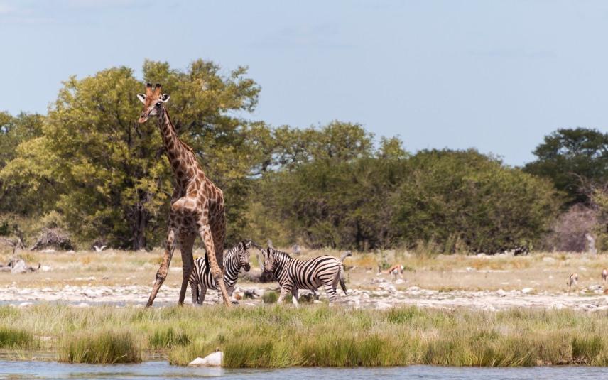 Giraffe readying to drink