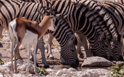 Springbok, zebra