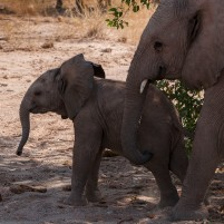 Desert elephants - mother and child