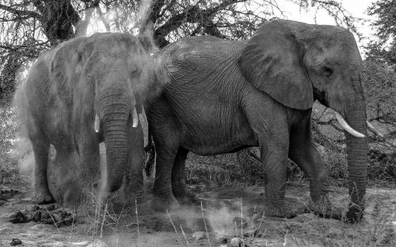 Desert elephants - sand bath