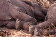 Desert elephants - the snooze
