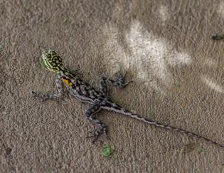 Female lizard, Twyfelfontein