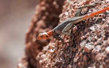 Lizard, changing his skin, Twyfelfontein