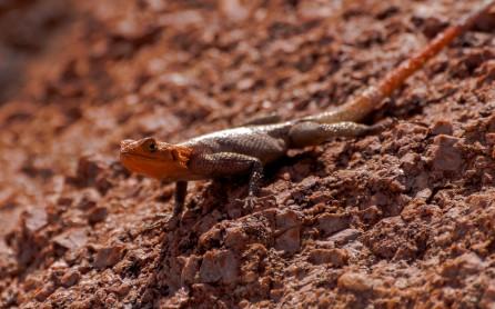 Lizard, Twyfelfontein