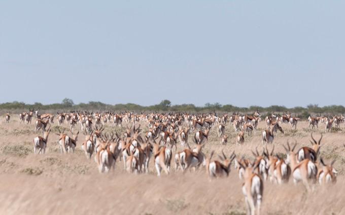 Sea of springbok