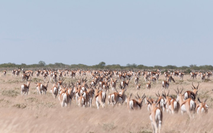 Sea of springbok