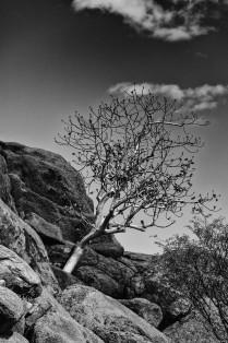 Tree, Twyfelfontein