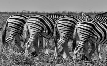 Zebra bottoms