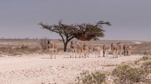 Zebra patrol, Etosha