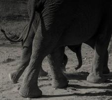 Desert elephants 2