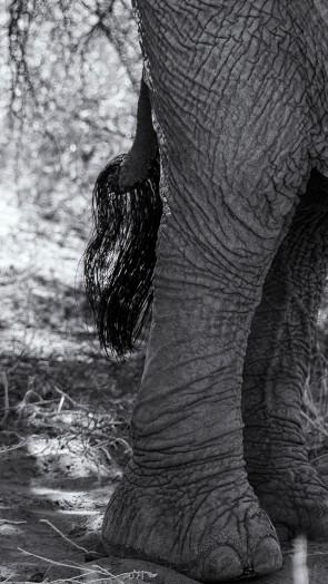 Desert elephants 3