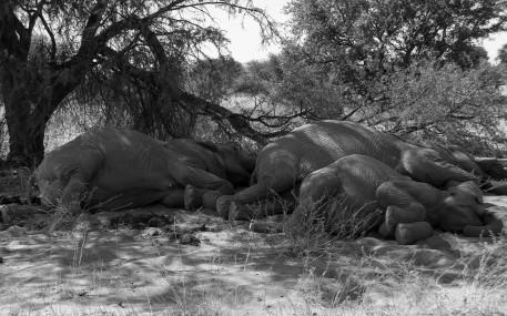 Desert elephants 4