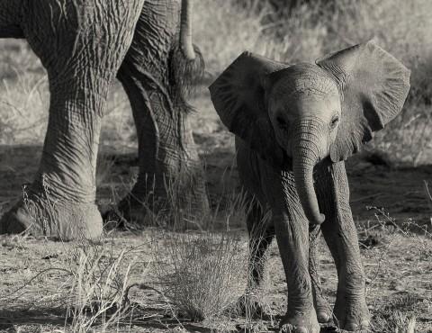 Desert elephants 7