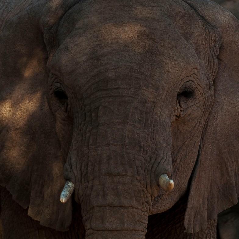 Desert elephants 8
