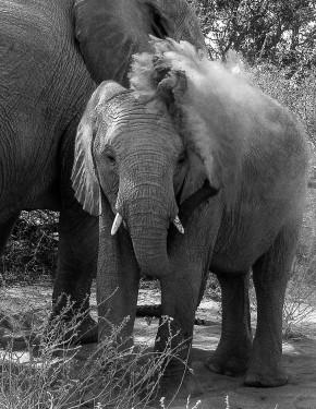 Desert elephants - blowhard