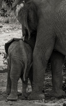 Desert elephants - parent and child