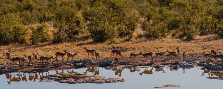 Impala, Halali