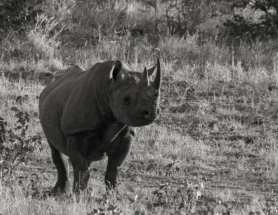 Rhino, Halali