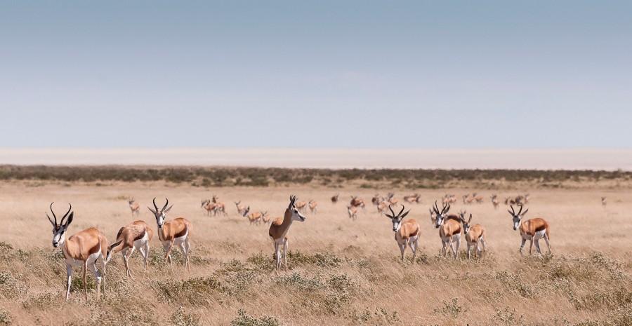 Springbok, Etosha