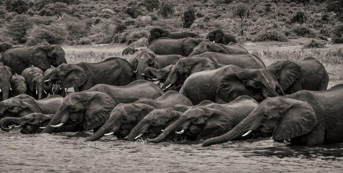 elephant-herd-zambezi-2