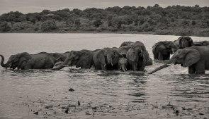 elephant-herd-zambezi-3