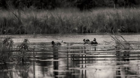 hippo-seen-from-a-makoro-bw