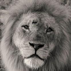 injured-lion-chobe