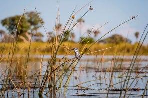 pied-kingfisher-okavango-delta