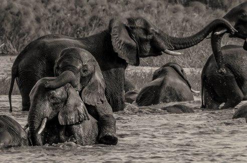 zambezi-elephants-1-bw