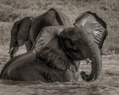 zambezi-elephants-2