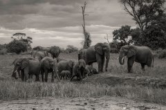 zambezi-elephants-3