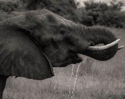 zambezi-elephants-4