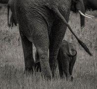 zambezi-elephants-5