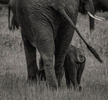 zambezi-elephants-5