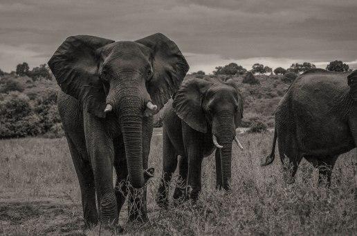 zambezi-elephants-6
