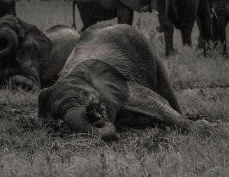 zambezi-elephants-7