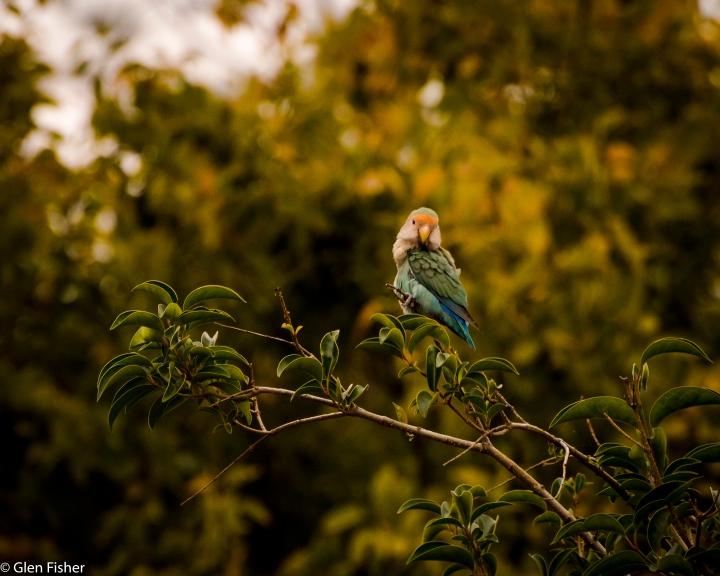 Rosy-Faced Lovebird #1
