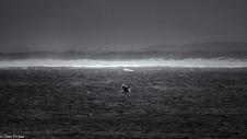 Breaching humpback, Walker Bay