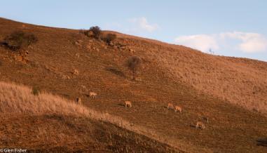 Eland, Drakensberg