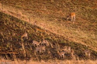 Eland, mountain reedbuck, Drakensberg # 1