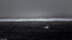 Humpback tail, Walker Bay