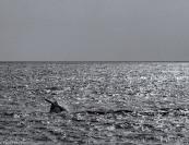 Humpback whale # 2, Gansbaai