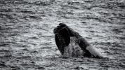 Humpback whale, Gansbaai