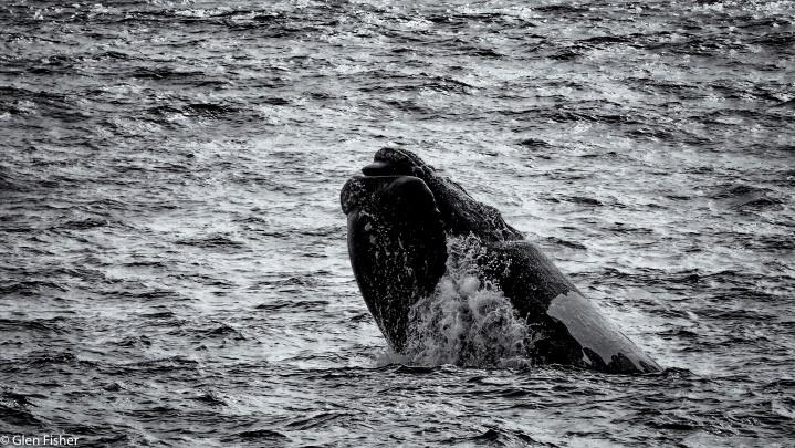 Whales, Walker Bay