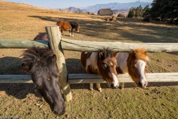 Miniature horses, Berg View Cottages