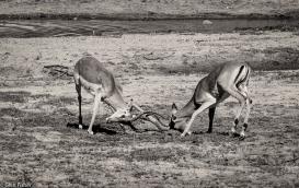 Impala dominance # 2